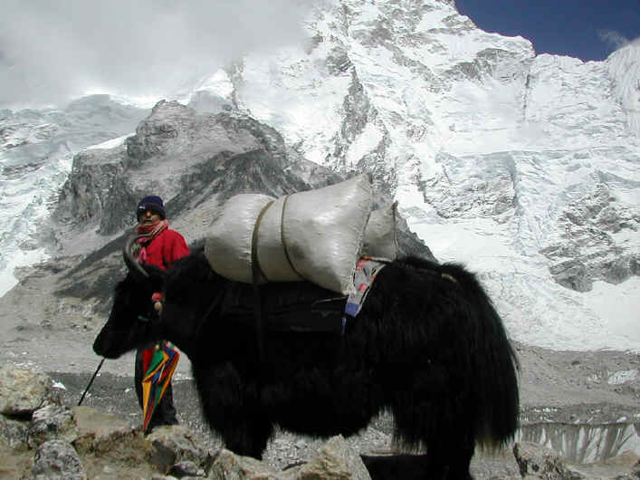 Yaks in the Everest region